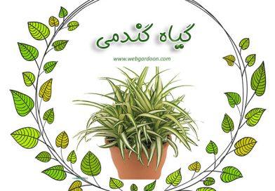 گیاه جذاب گندمی