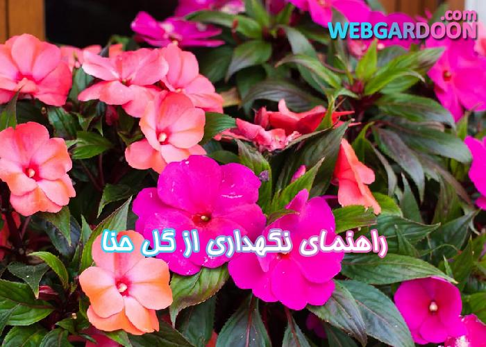 راهنمای نگهداری از گل حنا