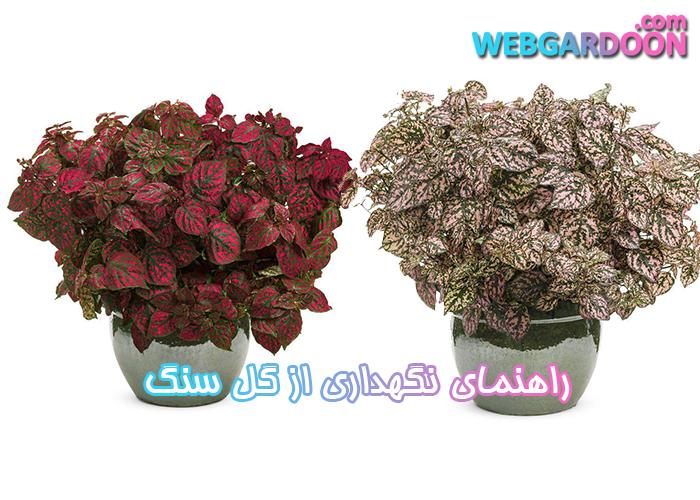 راهنمای نگهداری از گل سنگ