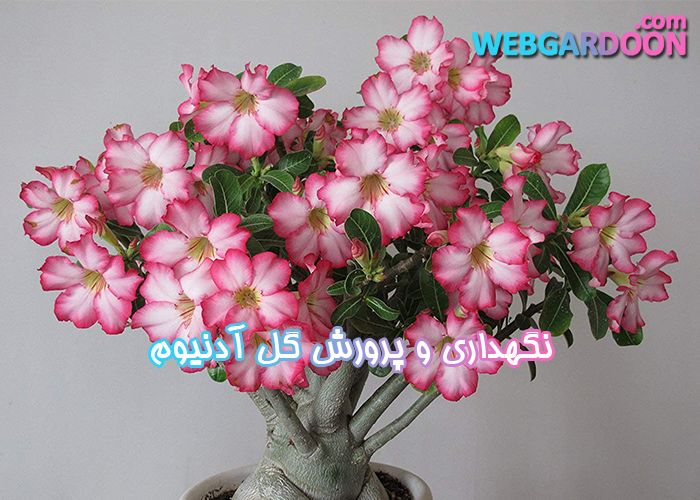 نگهداری و پرورش گل آدنیوم