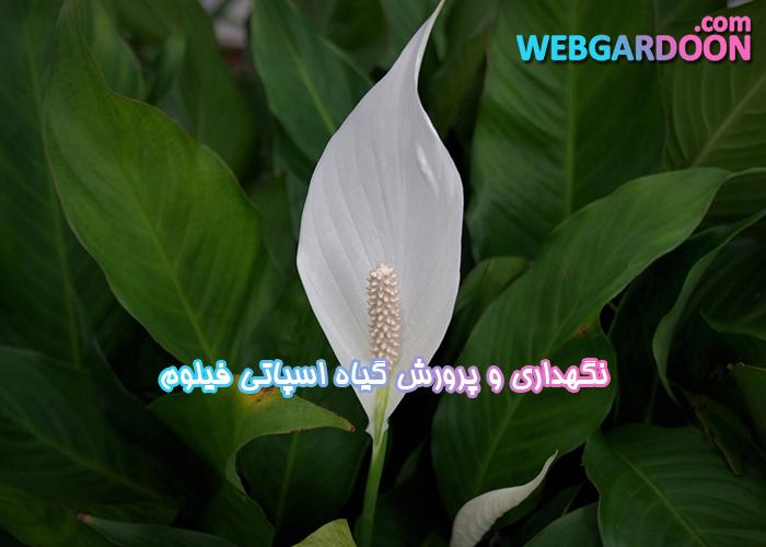 نگهداری و پرورش گیاه اسپاتی فیلوم