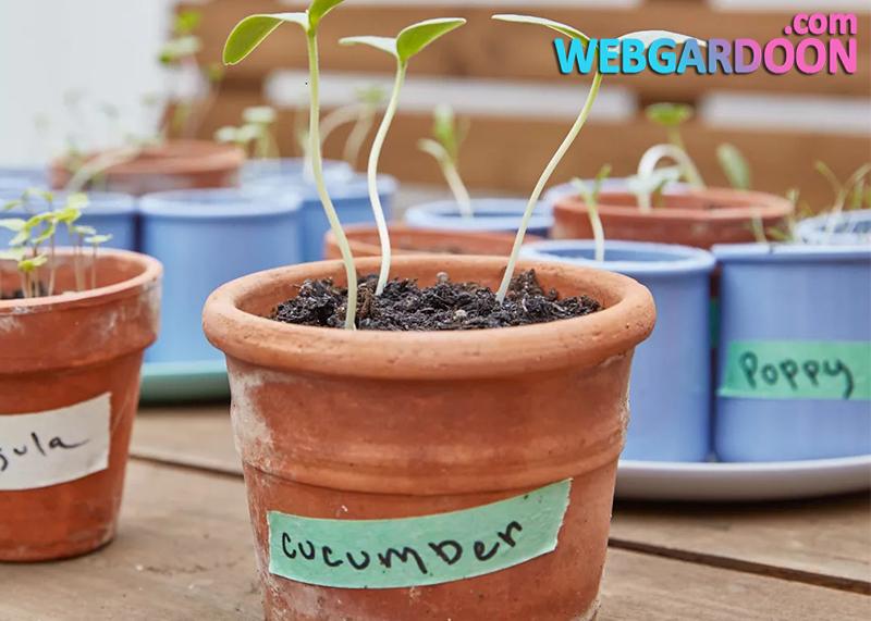 راهنمای پرورش خیار در گلدان